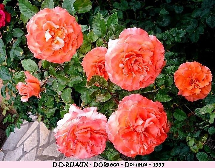 Rose d d ruaux doryeco francois dorieux 1997 roses passion