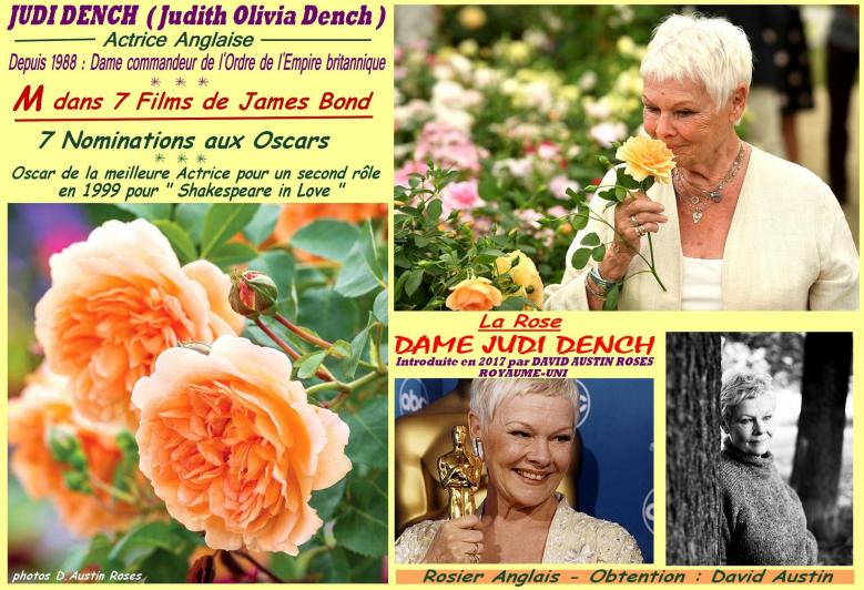Rose dame judi dench david austin rose 2017 roses passion