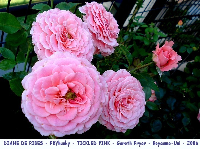 Rose diane de ribes fryhunky tickled pink gareth fryer royaume uni 2006