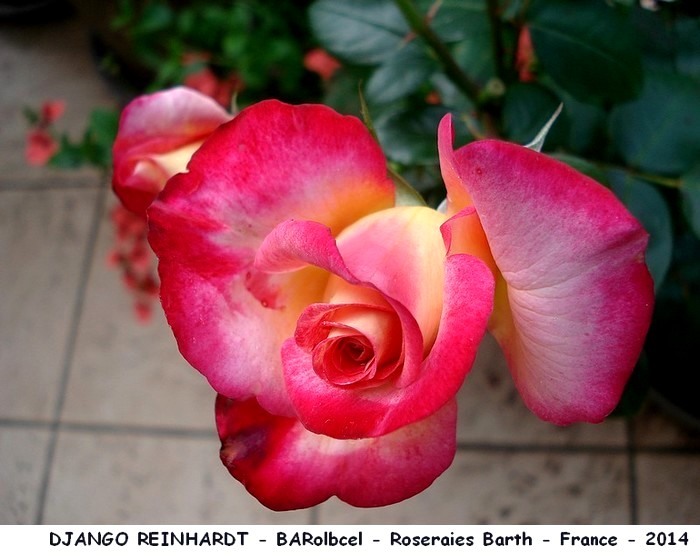 Rose django reinhardt barolbcel roseraies barth france 2014 roses passion