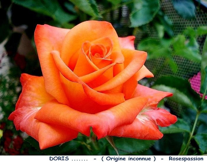 Rose doris origine inconnue rosespassion