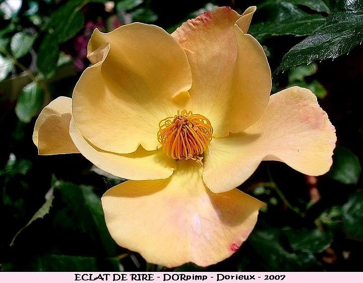 Rose eclat de rire dorpimp francois dorieux 2007 roses passion