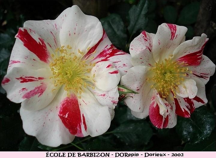 Rose ecole de barbizon dorepin francois dorieux 2002 roses passion