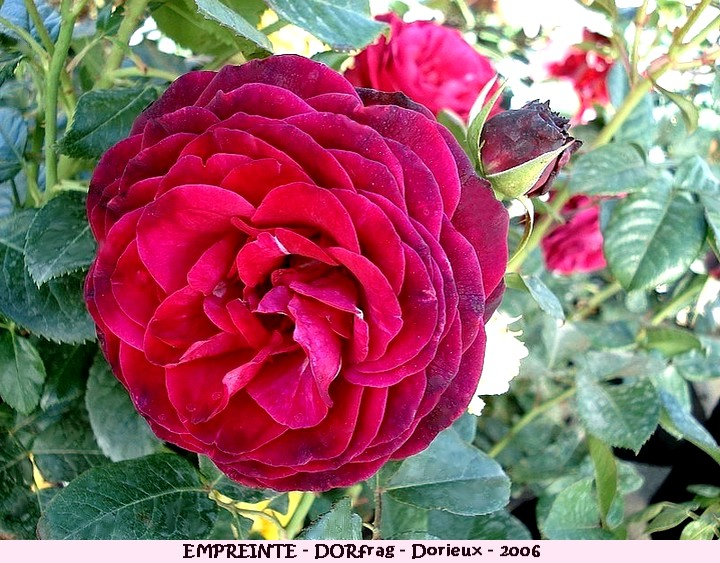 Rose empreinte dorfrag francois dorieux 2006 roses passion