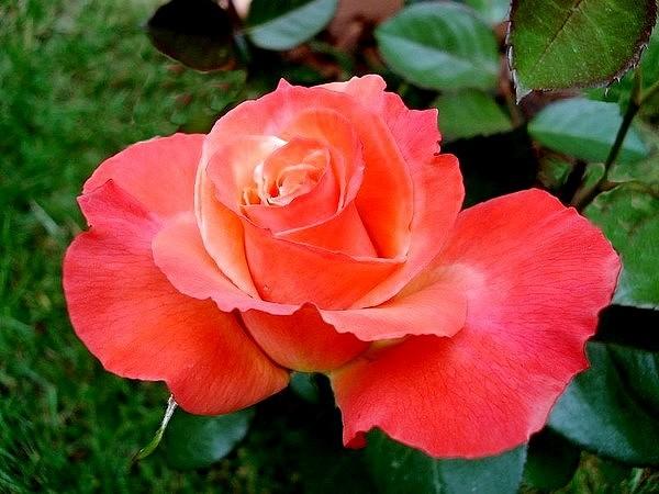 Rose espoir de lyse 05346 1
