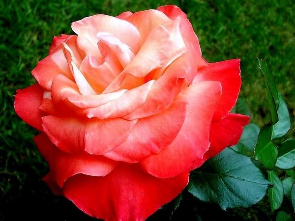 Rose espoir de lyse 05352