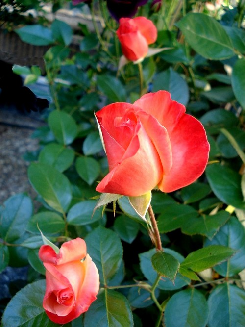 Rose espoir de lyse 05459
