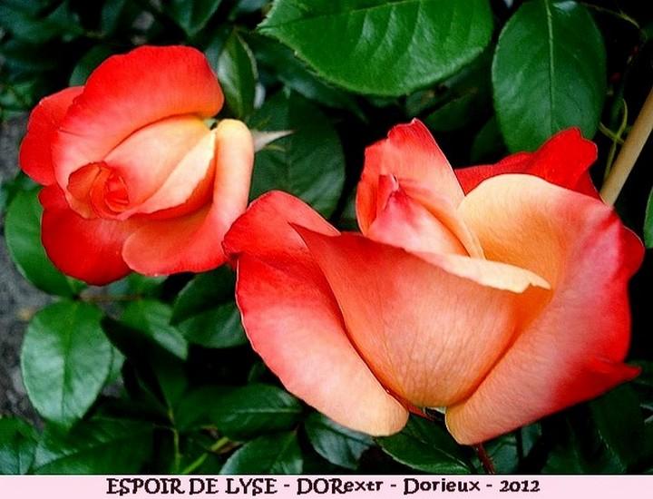 Rose espoir de lyse dorextr francois dorieux 2012 roses passion