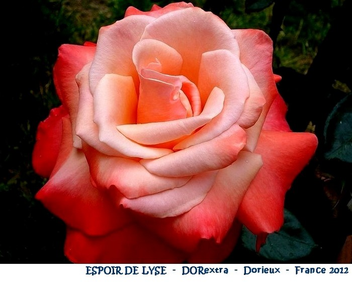 rose-espoir-de-lyse-dorextra-dorieux-france-2012.jpg