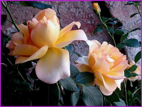 Rose eureka meizambaist meilland alterarosa 2012
