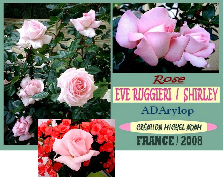 Rose eve ruggieri adarylop shirley michel adam 2008 roses passion 7458