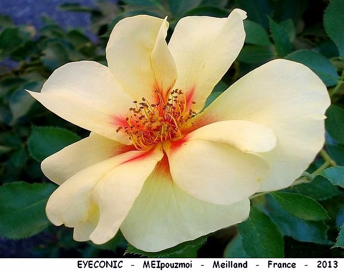 Rose eyeconic meipouzmoi meilland france 2013 roses passion