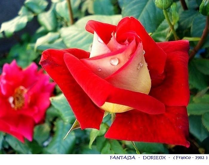 rose-fantasia-dorieux-france-1982.jpg