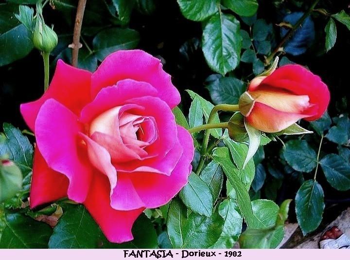 Rose fantasia francois dorieux 1982 roses passion