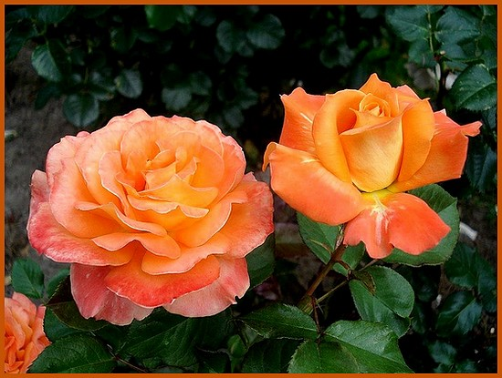 Rose flora danica roses passion 04557