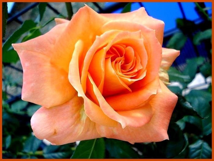Rose flora danica roses passion 2621