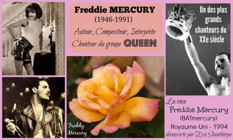 Rose freddie mercury batmercury freddy mercury eric stainthorpe roses passion 2j