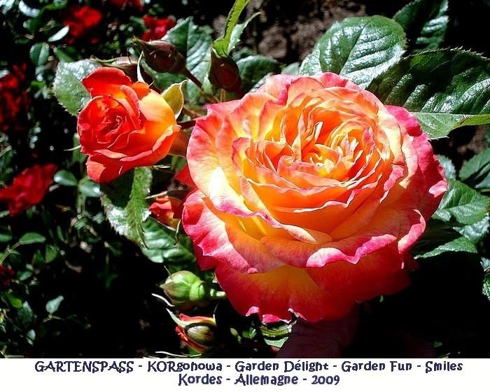 Rose gartenspass korgohowa garden delight garden fun smiles kordes 2009