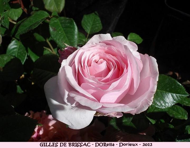 Rose gilles de brissac dorella francois dorieux 2012 roses passion