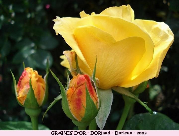 Rose graines d or dorland francois dorieux 2002 roses passion