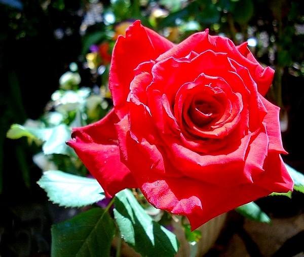 Rose grande amore korcoluma 01871