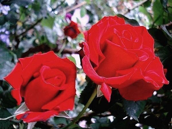 Rose grande amore korcoluma 05479