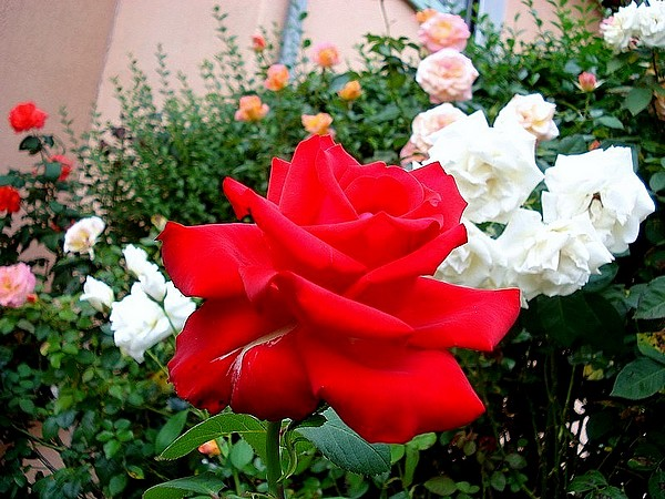 Rose grande amore korcoluma 06478
