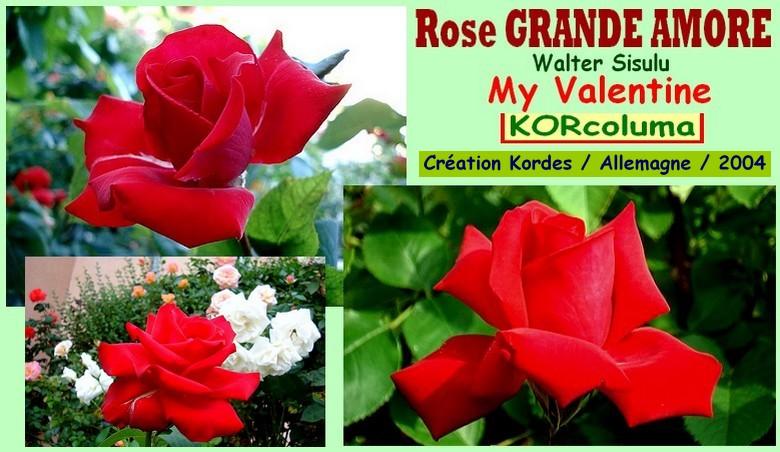 Rose grande amore korcoluma my valentine walter sisulu kordes allemagne 2004