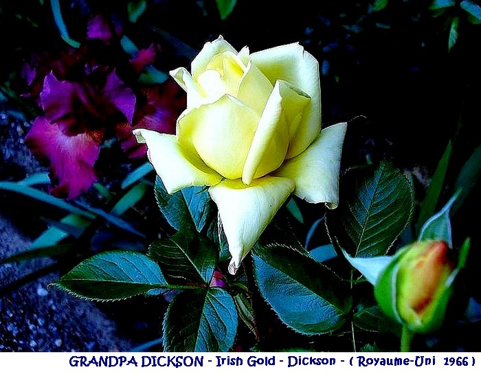 rose-grandpa-dickson-irish-gold-dickson-royaume-uni-1966.jpg