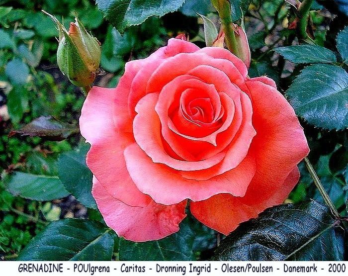 Rose grenadine poulgrena caritas dronning ingrid olesen poulsen danemark 2000 roses passion