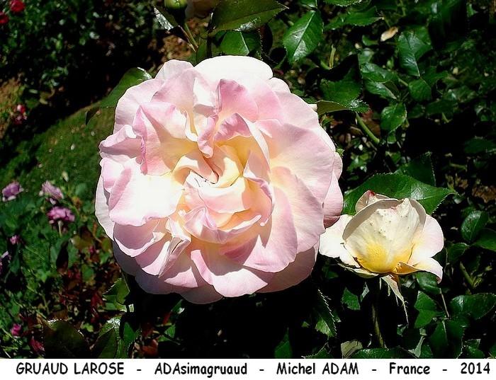 Rose gruaud larose adasimagruaud michel adam prestige de la rose 1er prix 2016 france 2014 roses passion