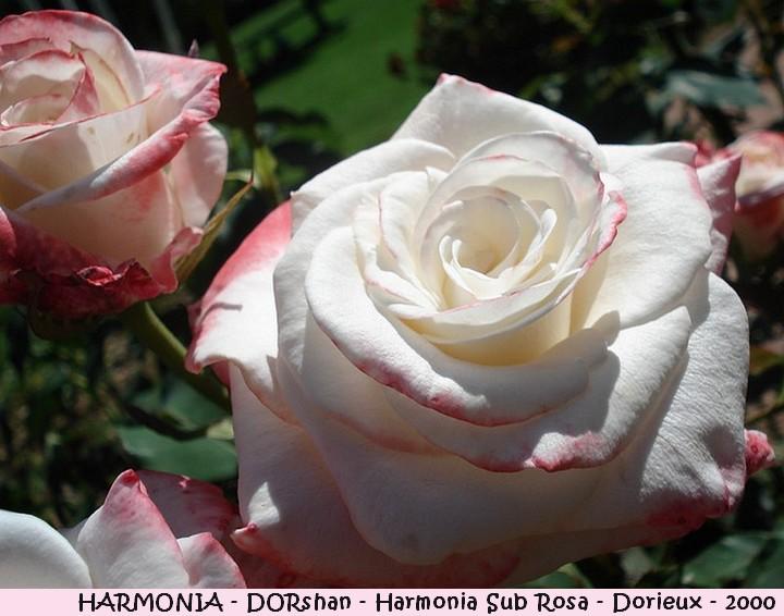 Rose harmonia dorsham harmonia sub rosa francois dorieux 2000 roses passion