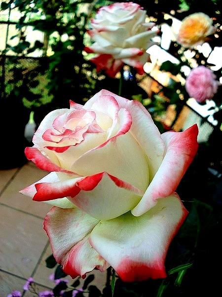 Rose imperatrice farah delivour delbard 07368