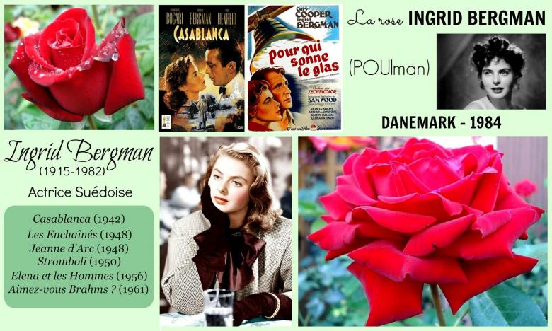 Rose ingrid bergman poulman olesen poulsen danemark 1984 roses passion 2j