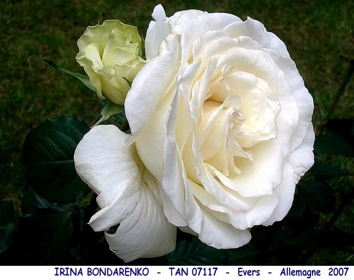 Rose irina bondarenko tan07117 evers allemagne 2007 roses passion