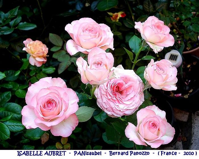 rose-isabelle-aubret-panisaubel-bernard-panozzo-france-2010.jpg