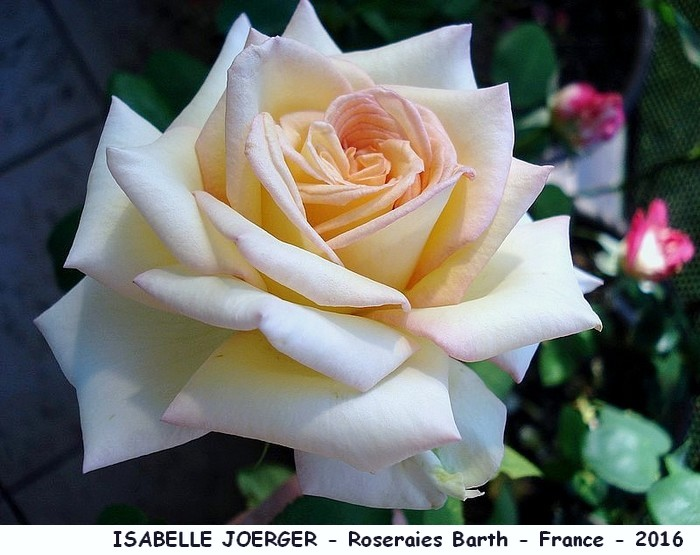 Rose isabelle joerger roseraies barth 2016 france roses passion