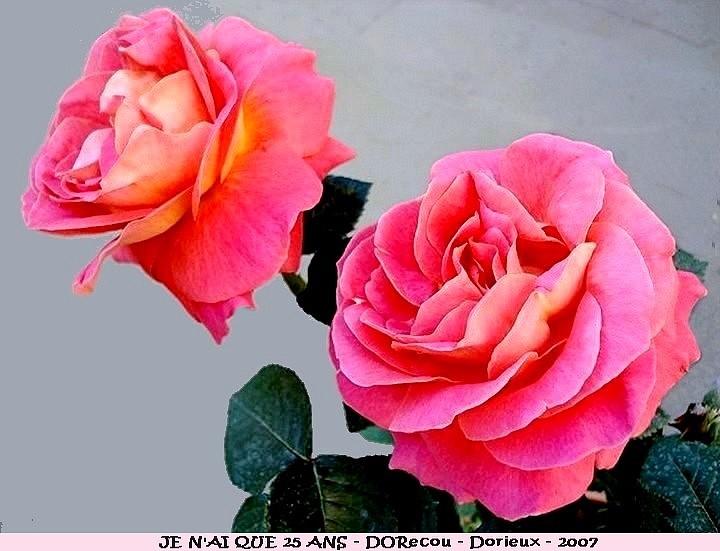 Rose je n ai que 25 ans dorecou francois dorieux 2007 roses passion