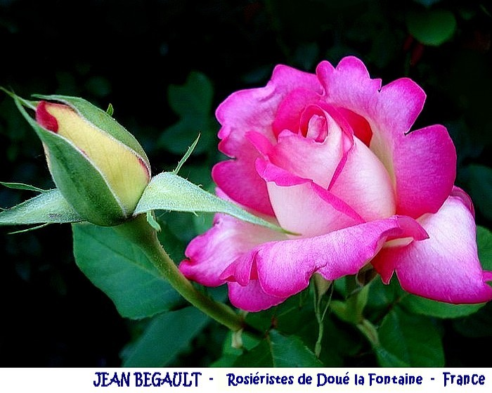 rose-jean-begault-rosieristes-doue-la-fontaine-france-roses-passion.jpg
