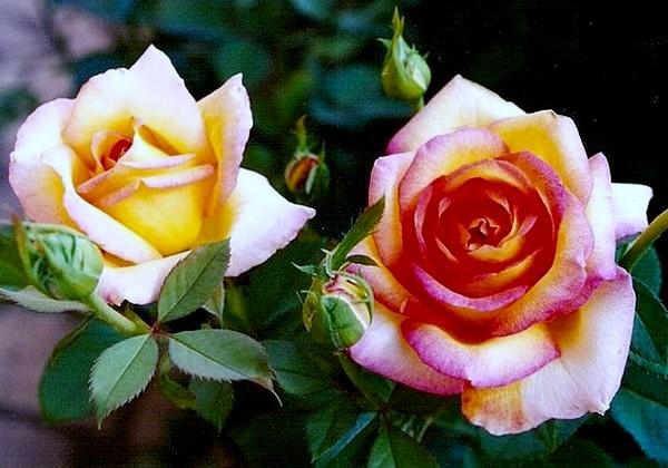 rose-jean-piat-10-roses-passion-1230.jpg