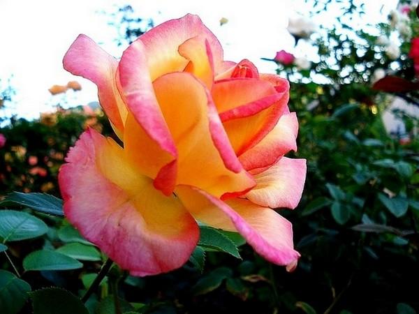 rose-jean-piat-11-roses-passion-1221.jpg