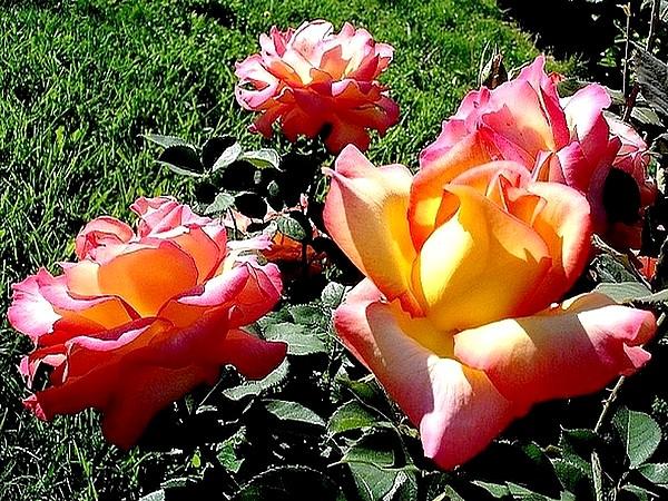 rose-jean-piat-12-roses-passion-1222.jpg