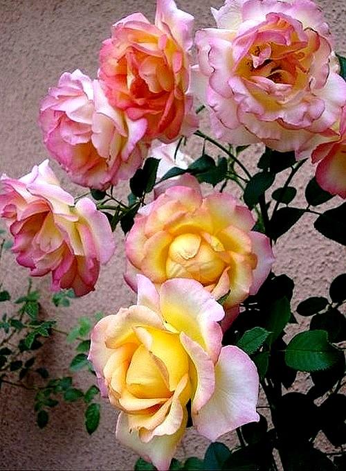 rose-jean-piat-6-roses-passion-1226.jpg