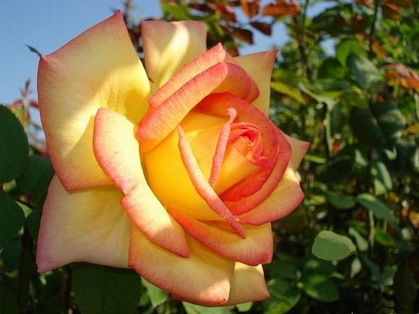 rose-jean-piat-8-roses-passion-1224.jpg