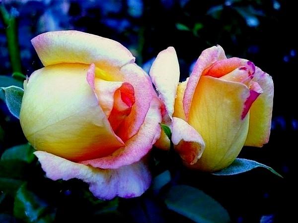 rose-jean-piat-9-roses-passion-1223.jpg