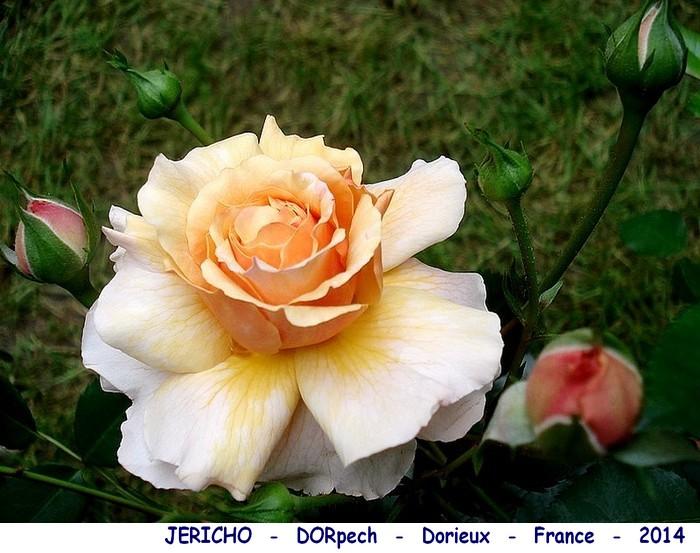Rose jericho dorpech dorieux france 2014