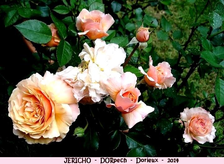 Rose jericho dorpech francois dorieux 2014 roses passion