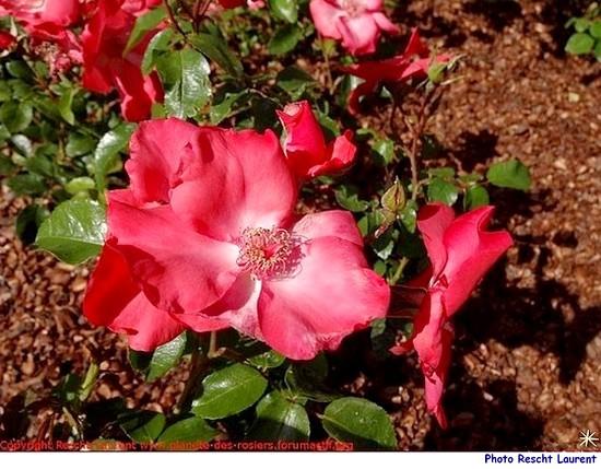 Rose karine sauvageot saukar rescht laurent 1