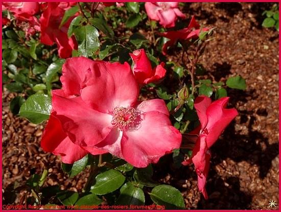 Rose karine sauvageot saukar sauvageot rescht laurent 1