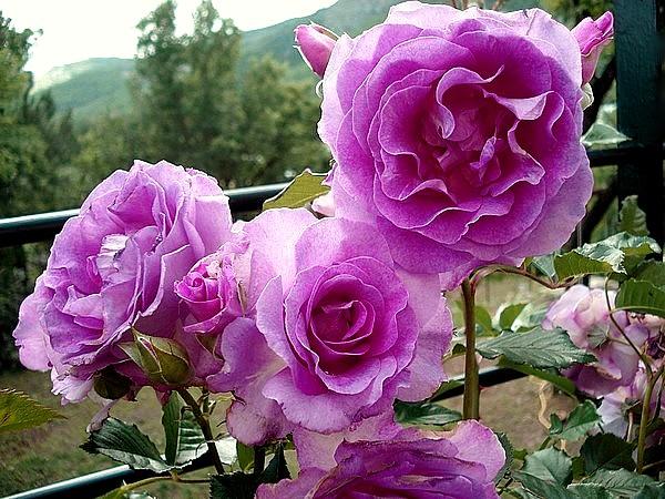 Rose lavande parfumee dorvand 2007